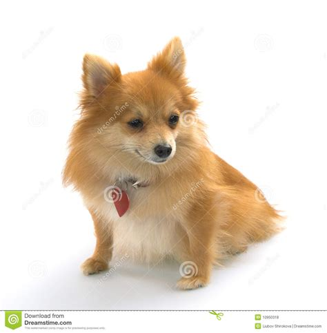 german spitz x pomeranian pomeranian or german spitz stock photo image of posing 10950318