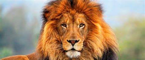imagenes de leones en movimiento image gallery leones