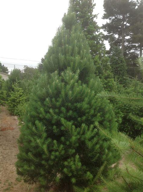 garlock christmas tree farm 95472 sebastopol 2275