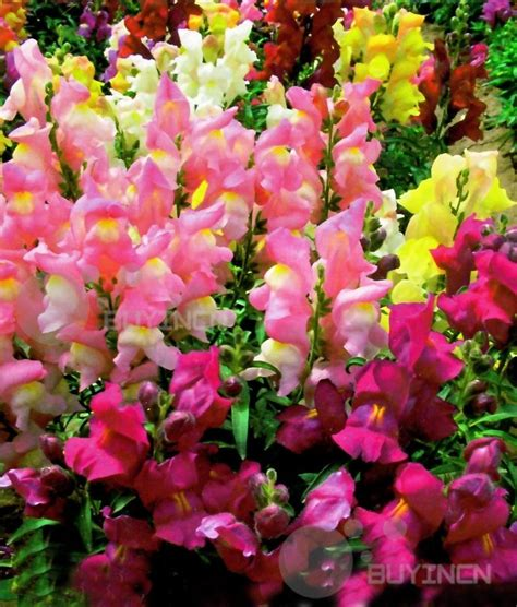 perennial flower seed common snapdragon 100 seeds