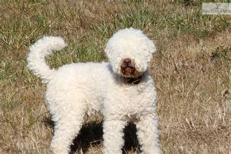 lagotto romagnolo puppies for sale lagotto romagnolo puppy for sale near nanaimo columbia 82f757a2 0451