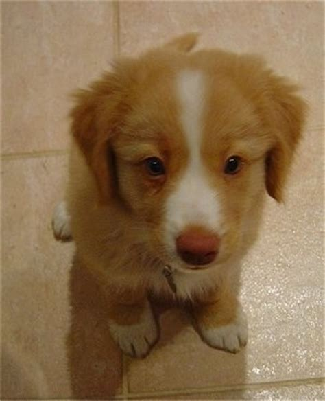 duck tolling retriever puppy scotia duck tolling retriever breed pictures 1