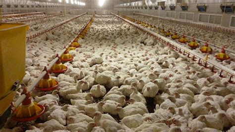Broiler Shed by Air Source Heat Pumps Power Poultry Shed Farmers Weekly