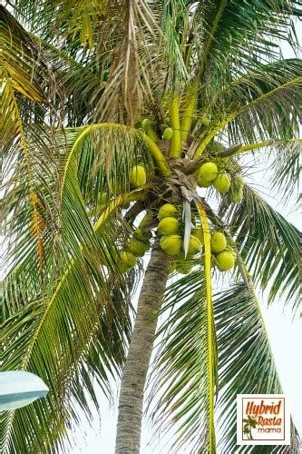Uses Of The Coconut Palm by 165 Uses For The Coconut Palm There S More To It Than