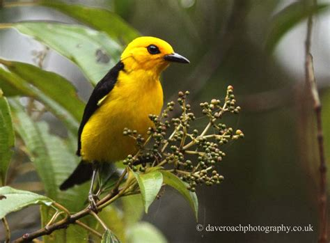 black and nature photography by dave roach black and yellow tanager chrysothlypis chrysomelas