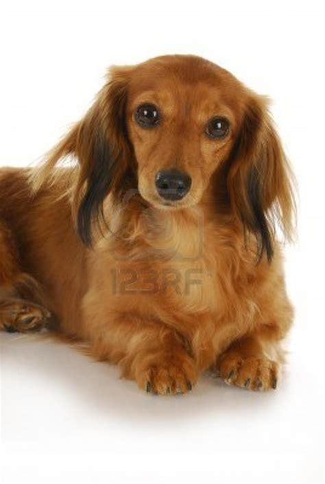 haired dachshund puppies puppy dogs haired dachshund puppy