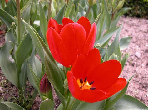 imagenes de flores tulipanes tulipan imagui