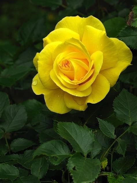 significato dei fiori rosa rosa gialla significato significato dei fiori rosa