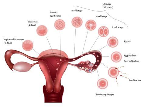 Calendario Ovular 191 C 243 Mo Saber Si Ovulo O No Ovulo Embarazo Actual