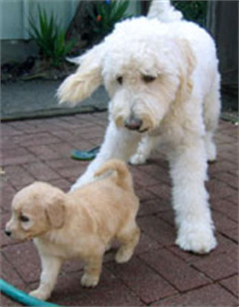 goldendoodle puppy rescue ma goldendoodle breeders puppies for sale adoption in