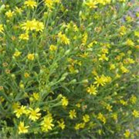 pianta con fiori gialli pianta con fiori gialli
