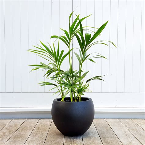 kentia palm  black  grey pot graceful plantandpotnz
