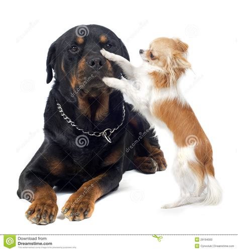 chihuahua and rottweiler rottweiler and chihuahua stock photo image 29194000