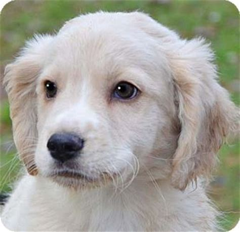golden retriever mix puppies rescue adopted puppy staunton va golden retriever labrador retriever mix