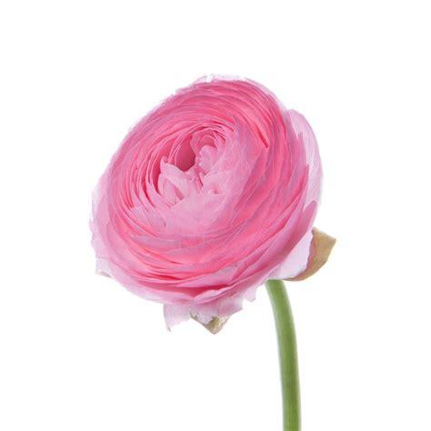 pink ranunculus flower muse