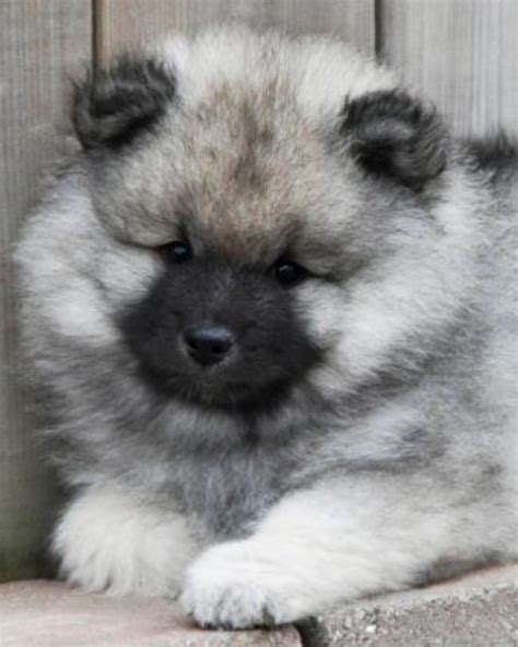 keeshond puppies keeshond puppy looks a lot like miss akasha did when she was itty bitty