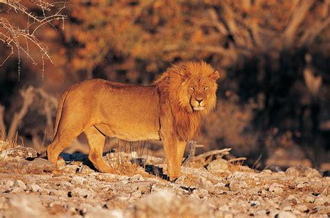 Imagenes De Leones Solitarios   imagenes de leones imagen leon solitario en la sabana