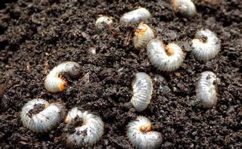 how to kill grubs in your lawn