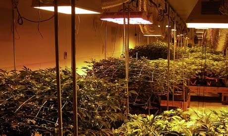 greener marijuana   budding industry grow sustainable