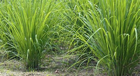 Grass Medicinal Uses by The Medicinal Values Of Lemon Grass Fever Tea