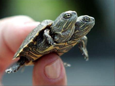 Peliharaan Anakan Kura Kura Baby Turtle erik eka putra gt kura kura labi labi bulus atau