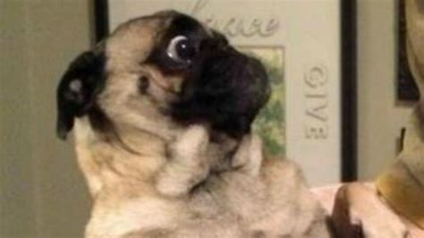 pug freaking out what is this pug so afraid of
