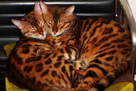 rare bengal cat worth  feared stolen  home