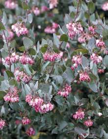 pacific horticulture society arctostaphylos for pacific