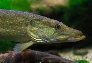 Freshwater Fish Freshwater Fish Collapsing Earth In Transition
