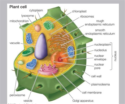 plant cell diagram and functions the gallery for gt plant cell diagram labeled with functions