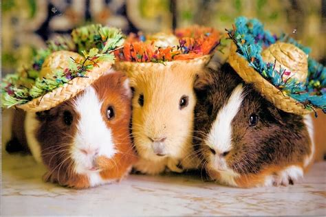 low maintenance pets guinea pigs fun animals wiki
