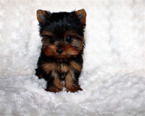 tiny teacup yorkies for sale in puppy care on yorkie puppies breeder notes on yorkies newhairstylesformen2014