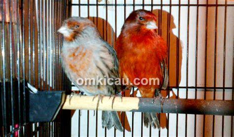Sarang Burung Finch Kenari Dan Sejenisnya melihat ragam kenari dan finch di nano canary klub burung