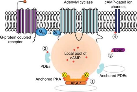 cAMP signal pathways. Ligand binding to various G protein ... G Protein Coupled Receptors Adenylyl Cyclase
