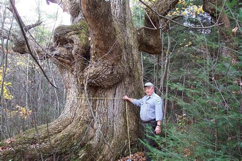 rocky coast news maines biggest trees