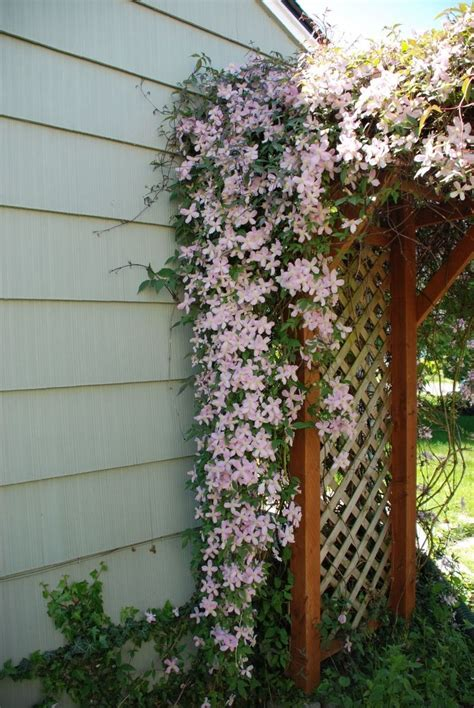Flowering Vines For Trellis climbing plants on trellis http lomets
