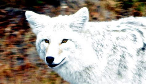 golden retriever scientific classification white wolf white y coyote newfoundland animal profiled in national geographic with