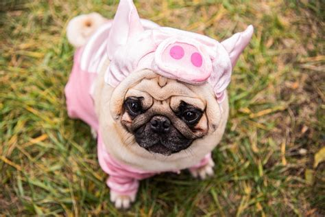 pig pug the cutest costumes for pets margaritaville