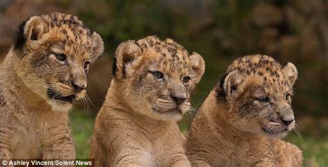 imagenes de leones con sus cachorros leones y sus cachorros imagui