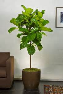 Fiddle Leaf Fig by Gallery For Gt Indoor Fig Trees