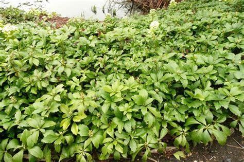 pachysandra terminalis plants oak leaf gardening