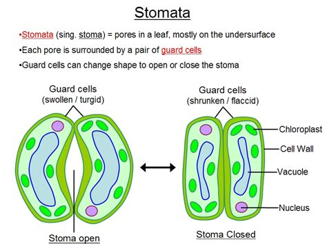 stomata diagram what is stomata what is its function explain me details