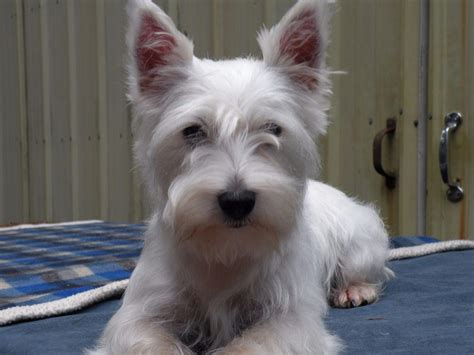 westie puppies akc westie puppies puppies for sale