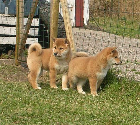 cheap shiba inu puppies for sale shiba inu puppies for sale uk