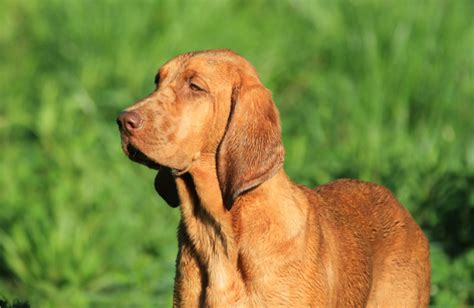 redbone puppy redbone coonhound about temperament health names grooming