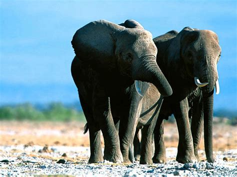 elephant wallpaper for pc wallpapers elephant wallpapers