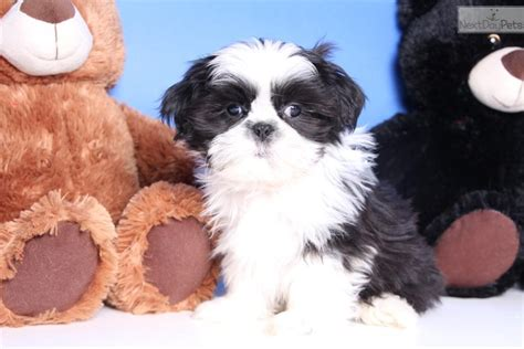 shih tzu allergy free shih tzu puppy for sale near columbus ohio c3fcb11a d961