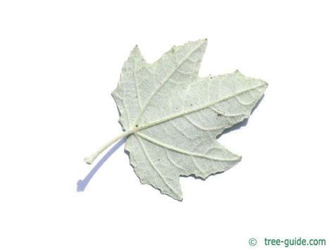 Leaf White white poplar populus alba