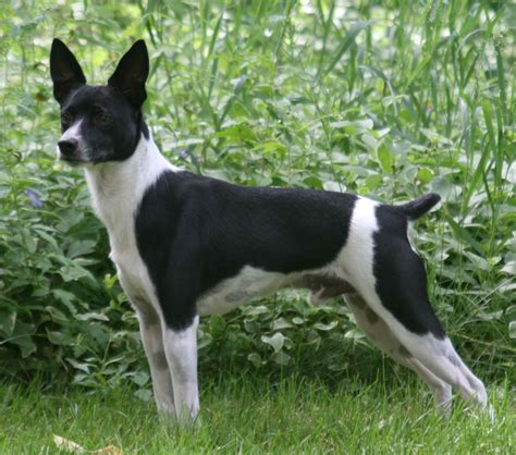 rat terrier rat terrier photos and wallpapers the beautiful rat terrier pictures
