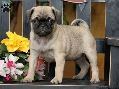 pug mix puppies for sale in pa the 25 best ideas about jug puppies for sale on pug mix puggle puppies